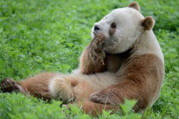 brown-panda