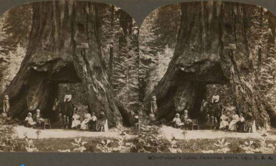 El árbol en un estereografía de 1899.
