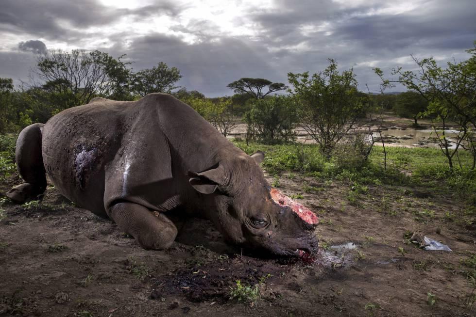 Primer premio en el apartado Historias de la categoría Naturaleza, tomada por el fotógrafo de la agencia Getty Images, Brent Stirton, para la revista National Geographic. La imagen muestra un rinoceronte con el cuerno cortado tras ser abatido por cazadores furtivos en la reserva de Hluhluwe Umfolozi, en Sudáfrica.
