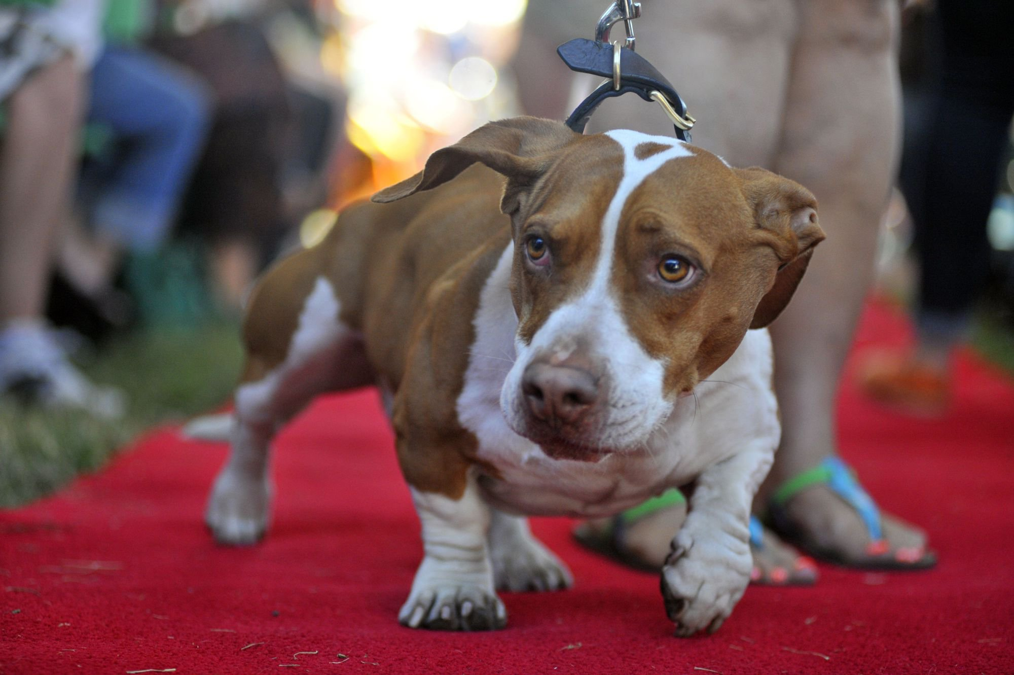 Tammie Barbee walks her dog Walle, a Beagle-Bassett, down the red carpet at the start of this year's World's Ugliest Dog competition in Petaluma, California, on Friday, June 21, 2013. AFP Photo / Josh Edelson