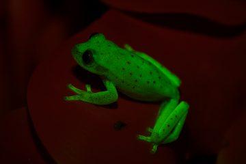 rana fluorescente