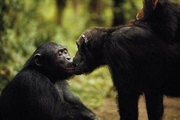 beso-entre-chimpances